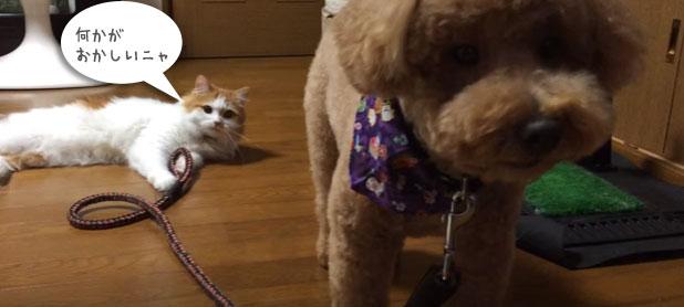 「お前は誰ニャ?何か違うニャ?」毛を切ったトイプ―に疑いの目を向ける猫