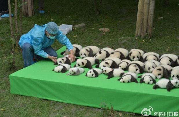 並べられる23頭のパンダ