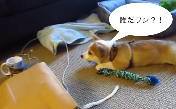 マグカップに描いてある犬の絵に怯えるコーギー