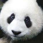パンダによってアイメイクの大事さがよく理解できる画像